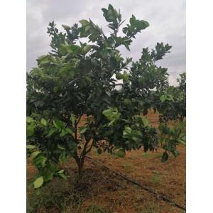 酵素橙 天然有机肥料和抑菌酵素 培育的香甜果橙 10斤装